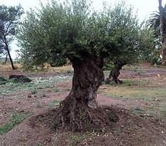Alles wat u moet weten over De Olijfboom