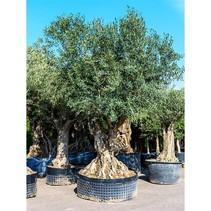 Oude Olijfboom 500-1000 jaar - Olea Europaea -  Hoogte 250 pot 130 cm