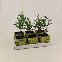 Olea Europaea - Olijfboom - 23 cm pot 13 c in decoratieve pot  OP=OP