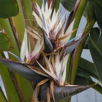 Strelitzia Nicolai - Witte Paradijsvogelbloem