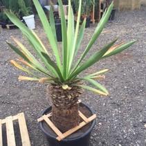 Yucca Carnerosiana - Yucca plant