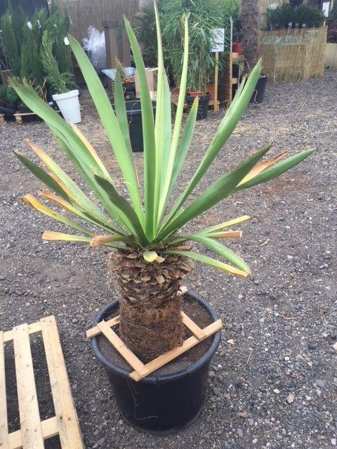 Yucca Carnerosiana Yucca Plant Kopen Teeninga Palmen