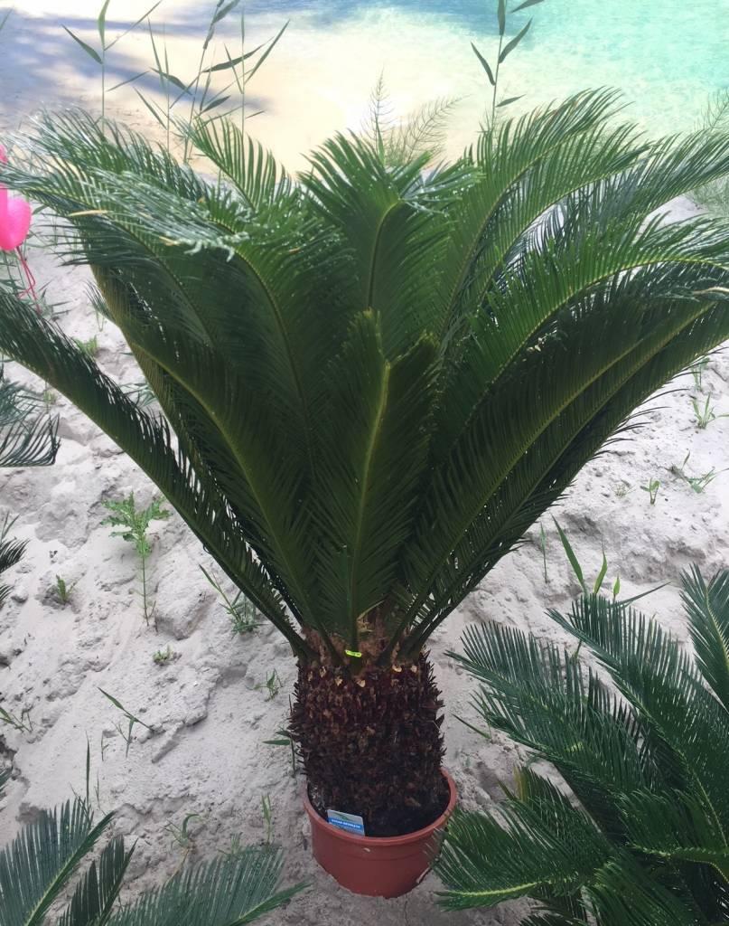 Kamer Planten Cycas Revoluta Cycaspalm - Vredespalm - Valse Sagopalm CYCLAS  REVOLUTA, PALMVAREN Kopen