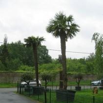 Trachycarpus Fortunei - Große Größen