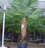 Palmen Trachycarpus Fortunei Chusan Palm, Windmill Palmtree Kopen - Grote maten