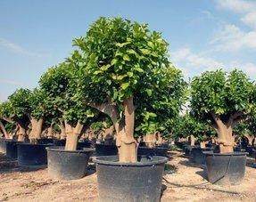 Citrus bomen