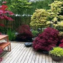 Japanse esdoorn Acer palmatum 'Atropurpureum'
