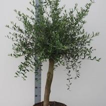 Olea Europaea - Olijfboom - 110 -150 cm incl pot met dikke stam ! OP=OP