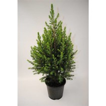 Dwarf spruce - picea abies 'Conica' - Mini Christmas tree