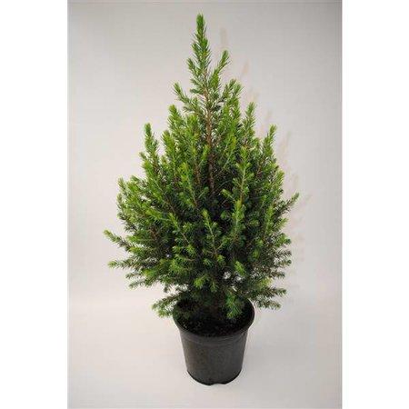 Bomen Dwergspar - picea abies 'Conica' - Mini kerstboompje Kopen