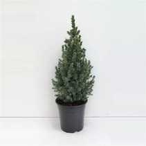 Dwarf fir-picea glauca 'Sander's blue - Mini Christmas tree