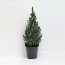 Zwerg Tannen-Picea Glauca 'Sander's Blue - Mini Weihnachtsbaum