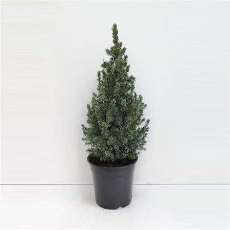 Bomen Dwerg spar-  picea glauca 'Sander's blue - Mini  kerstboompje  Kopen