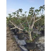 Vijgenboom (Ficus Carica) - Zwaar vertakt 250 cm