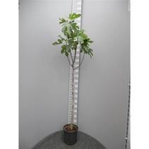 Vijgenboom (Ficus Carica) -180-190 cm
