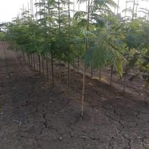 Persischer schlafender Baum - Albizia julibrissin - 200-230 cm Nl