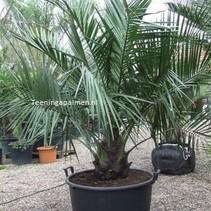 Jubaea chilensis Hoogte: 100-130 cm