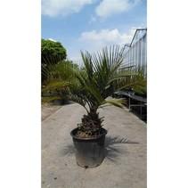 Jubaea chilensis Hoogte:  Hoogte: 130-150 cm