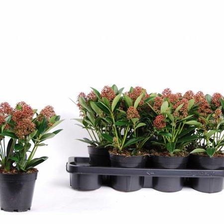 Bloemen Skimmia Japonica Rubella Kopen