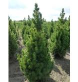 Bomen Picea glauca Conica met jute
