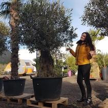 Olea Europaea - Olivenbaum - Altes Holz - 220-230 cm -