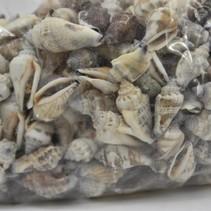 Shell Strombus Urceus 1kg