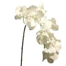 (Best) Vanda orchid cream 95cm