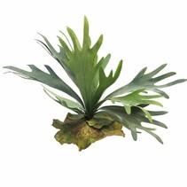 Platycerium tt green 27cm
