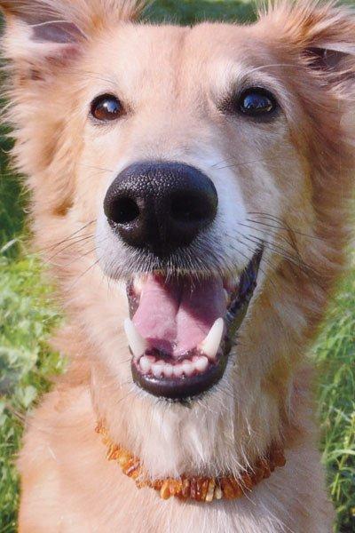 Barnsteen hondenketting kort