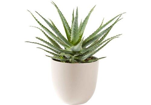 Aloë Vera vetplant inclusief pot