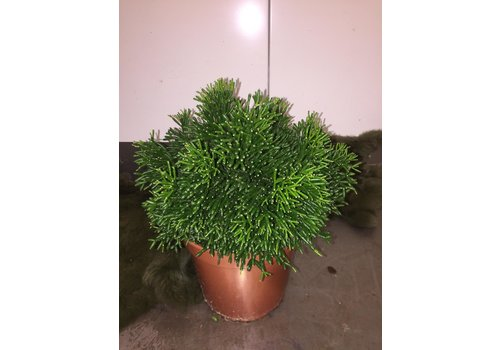 Ron Rhipsalis plant