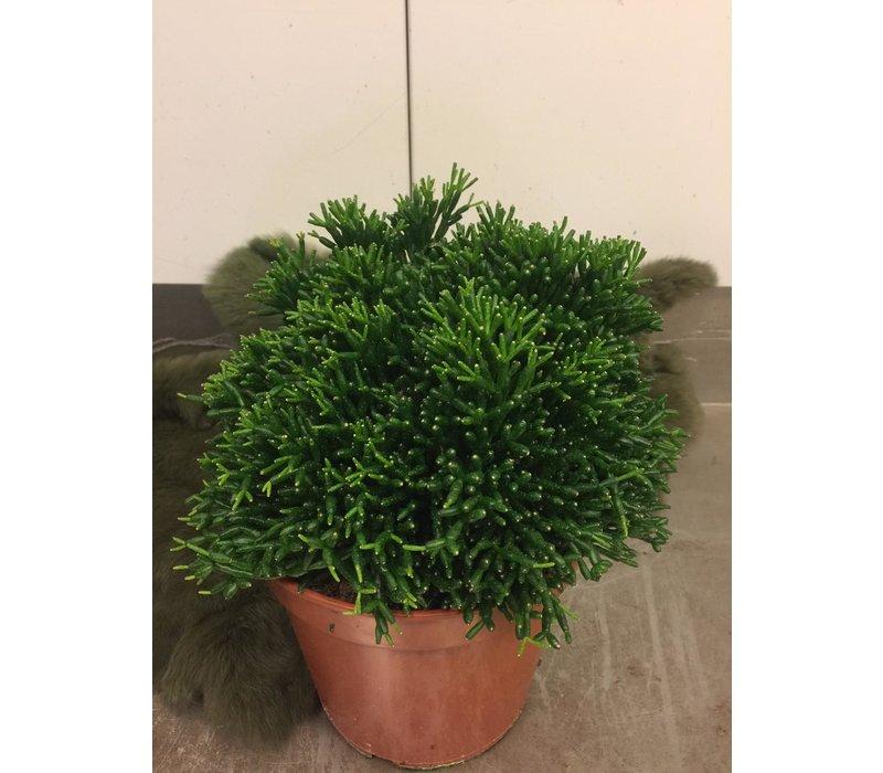 Rhipsalis plant