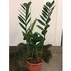 Ron Zamioculcas plant