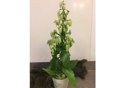 Ron Kalanchoe plant