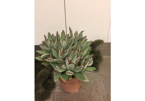 Ron Kalanchoe, panda plant