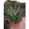 Ron Haworthia Gasworthia plant