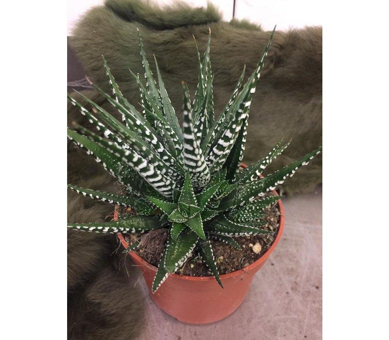 Haworthia Gasworthia plant