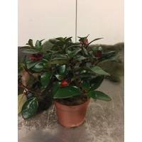Hypocyrta plant