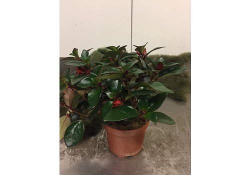 Ron Hypocyrta plant
