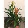 Ron Bromelia Vriesea plant
