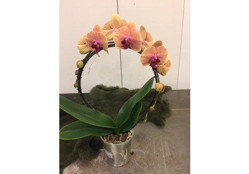 Ron Phalaenopsis boog
