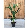 Ron Kentia palm