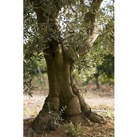 Olijfolie Fruité vert BIO 50 cl - Domaine de Valdition