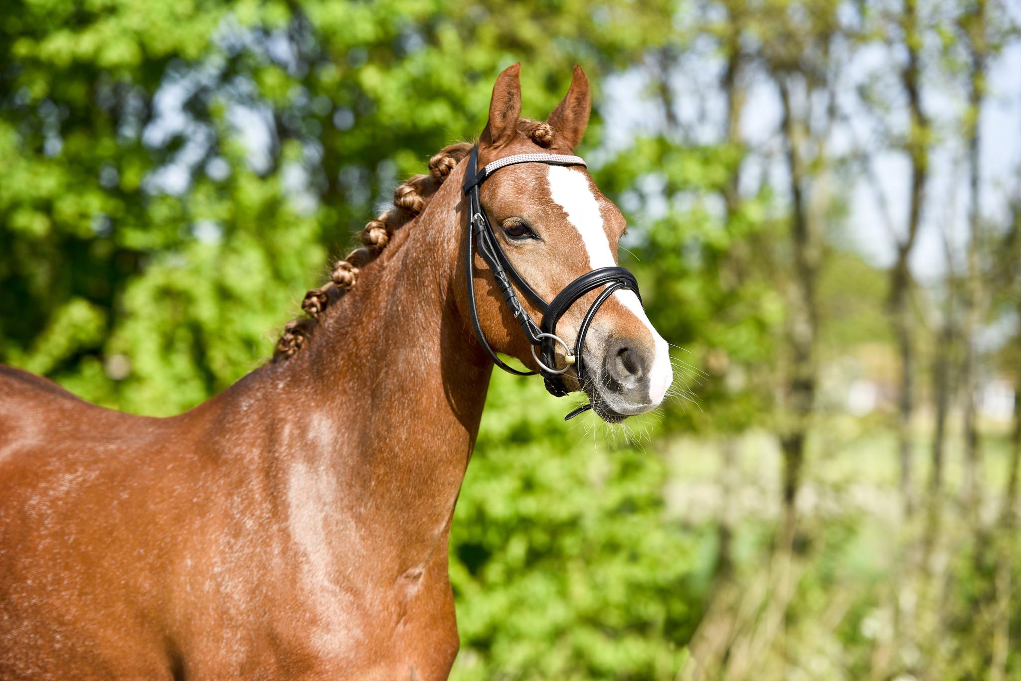 Super Bella 7 jarige Welsh C pony (merrie) - HartvoorPaarden CK-64