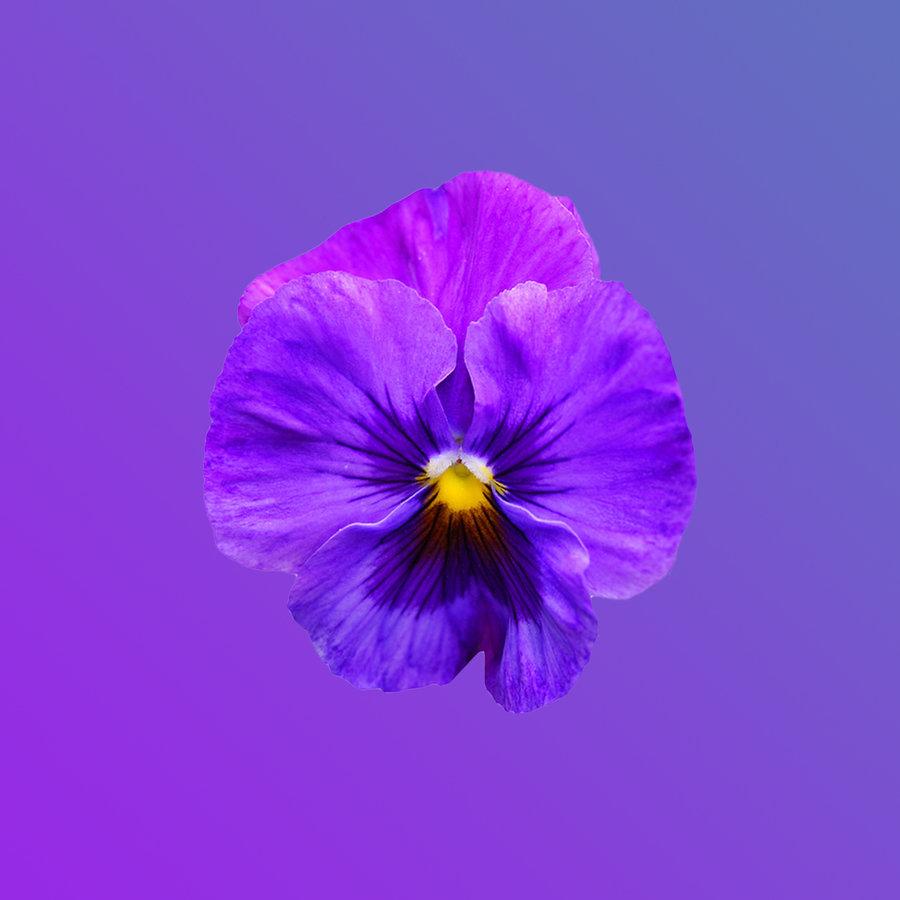 viooltjes, vorstelijk, mauve, Byzantijns, amethyst, phlox, moerbei, distel, orchidee, electrisch, lavendel