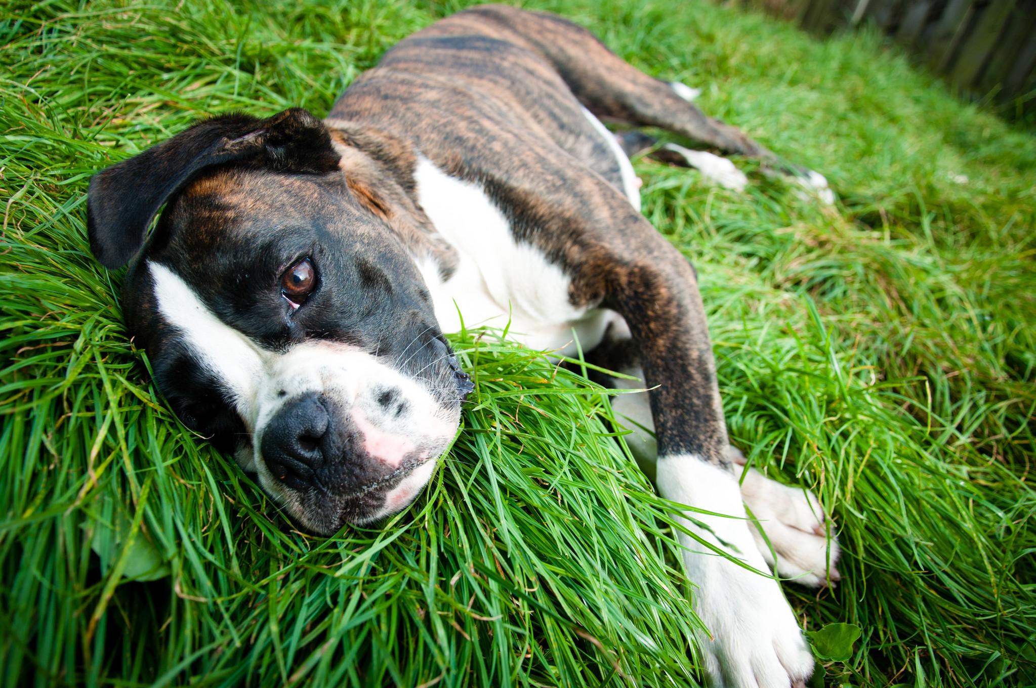 Hund liegend im Gras