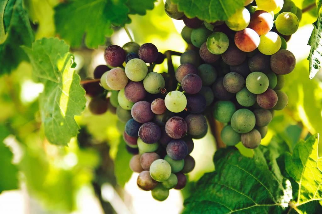De Ideale Serveertemperatuur voor de 18 Nobele Druiven