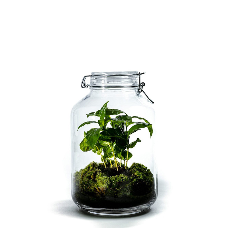 Growing Concepts Jar large Coffea arabica