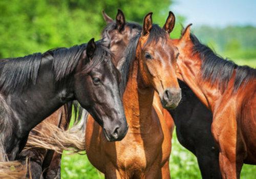 Junge Pferde