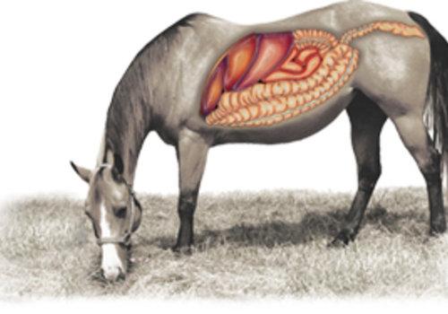Intestins (digestion)
